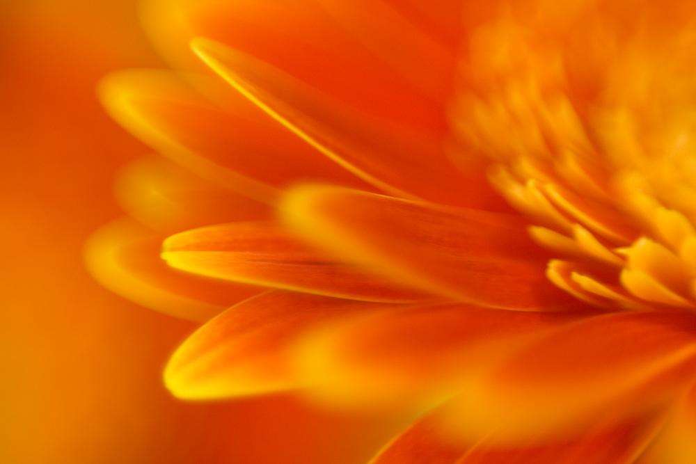 Macro Daisy (AZART 00017)