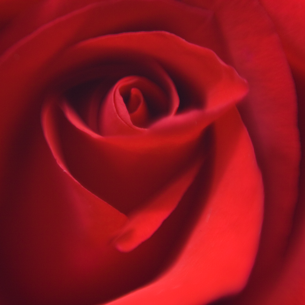 Macro Rose (AZART 00014)